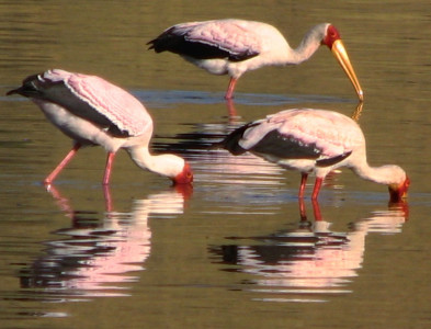 Lake N Yellow billed stork2-kenya-holliday-adventures-africa-1