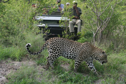 kenya-holliday-adventures-Leopard-hunting- credit-Lyndsay-Harshman-Kusini-Collection