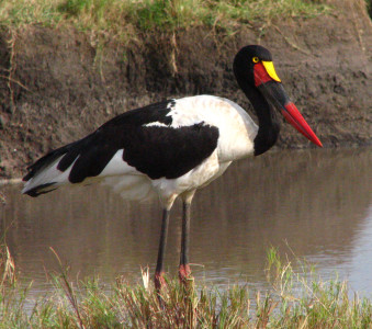 saddle-billed stork-kenya-holliday-adventures-africa-1