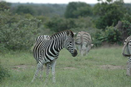 zebra-south-africa-holliday-adventures